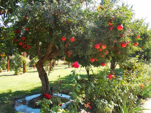 Fruit tree you wish you could grow page 3 gardening forums - Fruit trees every type weather area ...