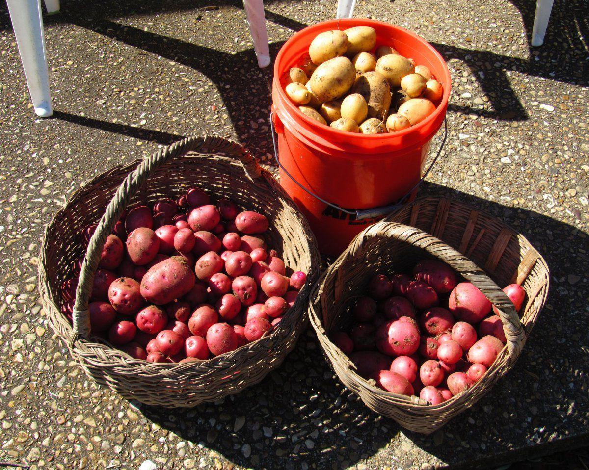 potato harvest.jpg