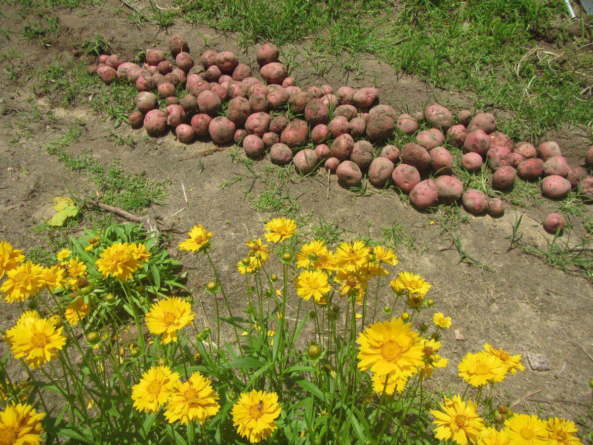 potato second dig 2020.JPG