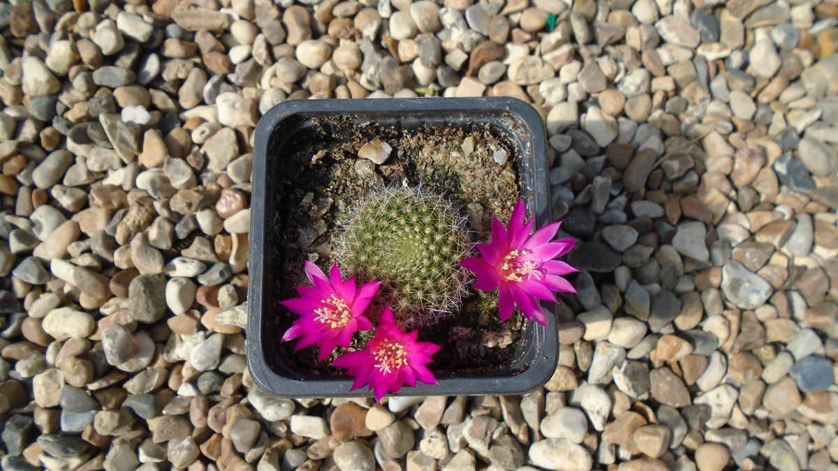 Rebutia pink lady pup (2).JPG