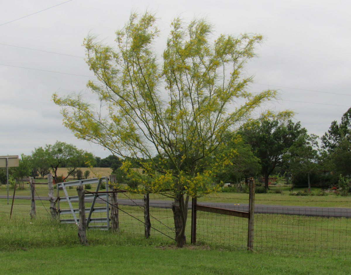 Retama in bloom.jpg