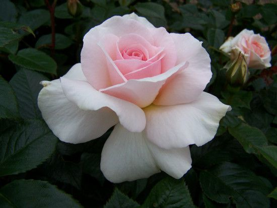 Rosa-A-Whiter-Shade-of-Pale 1.jpg