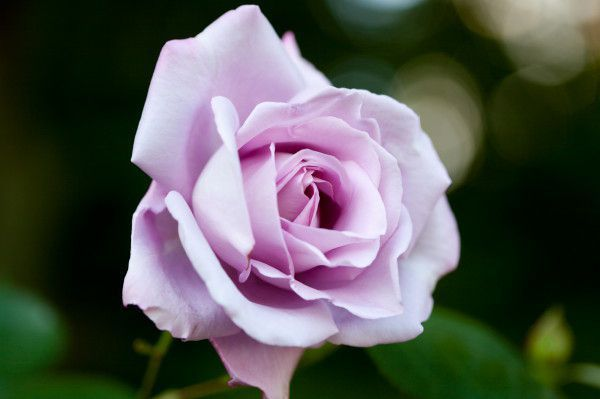 Rosa-Blue-Moon.jpg