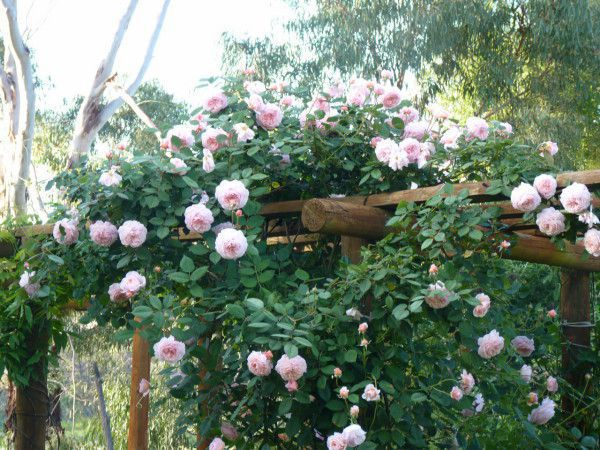 Rose - A Shropshire Lad - Climbing.jpg