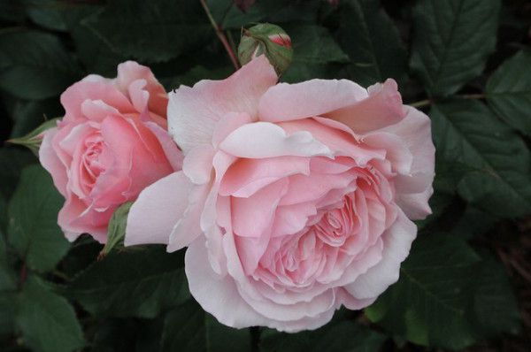 Rose - A Shropshire Lad.jpg