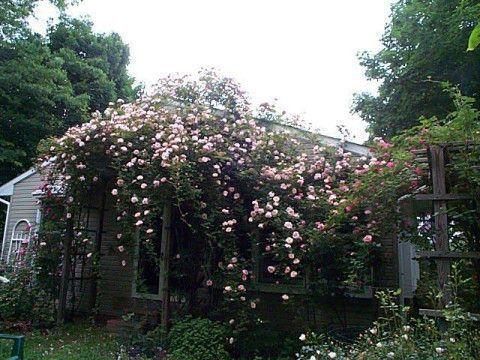 rose - albertine (2).jpg