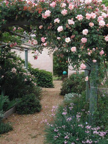 Rose - Albertine pergola .JPG