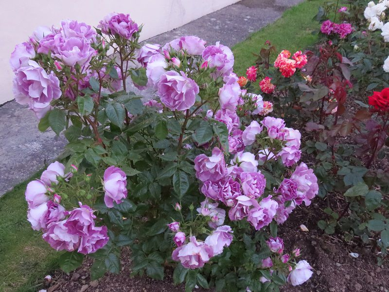 Escapade Rose Cluster Rose Gardening Forums