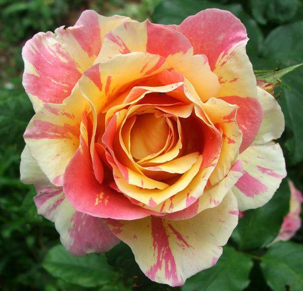 rose-claude-monet.jpg