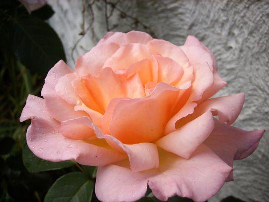 Rose - Compassion.jpg