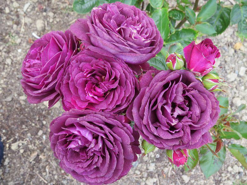 Rose 'Ebb Tide' (2).JPG