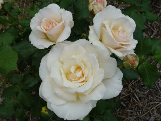 rose - french lace.jpg