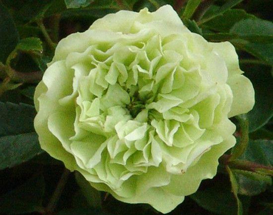 Rose - Green Ice.jpg