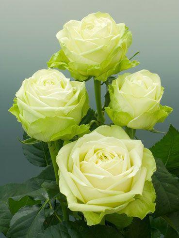 Rose - Green Romantica.jpg