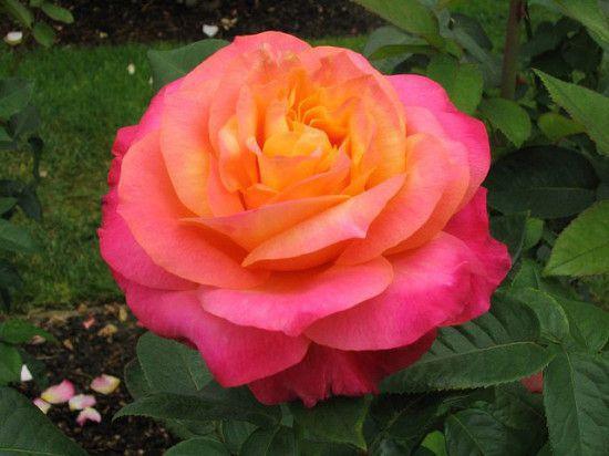 Rose - Heart-O-Gold.jpg