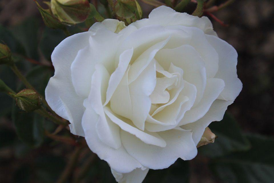Rose 'Iceberg' (1).JPG