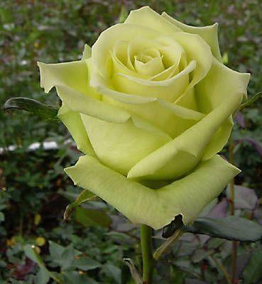 Rose - Jade.jpg