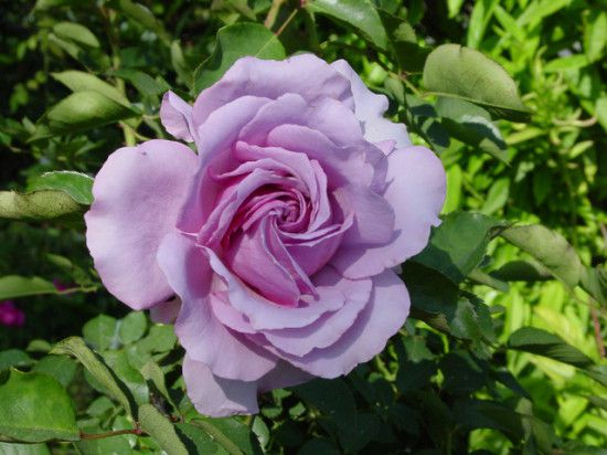 Favorite roses from around the world page 3 gardening - What are blue roses called ...