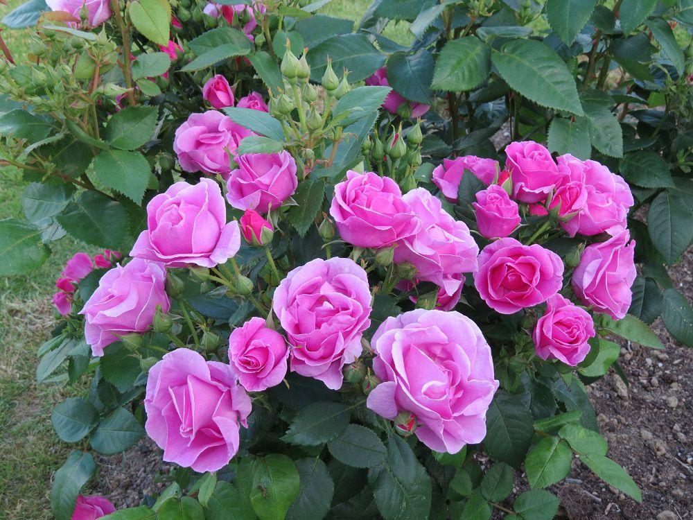 Rose 'Lucky!' (3).JPG