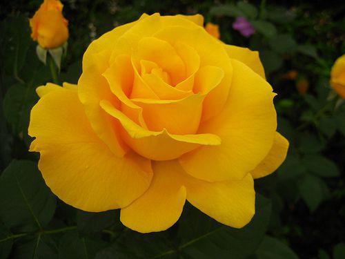 rose - midas touch 1.jpg