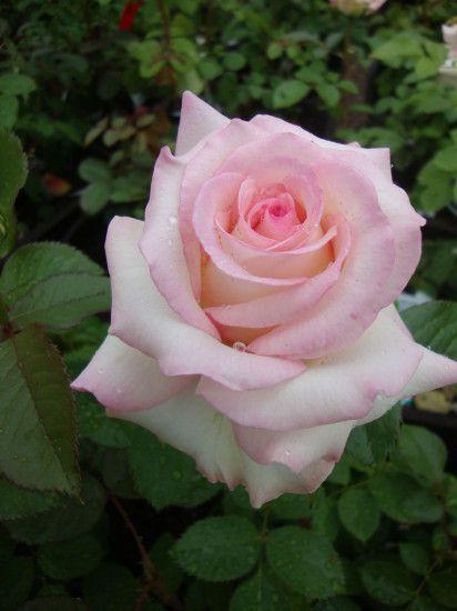 Rose-Moonstone-3.jpg