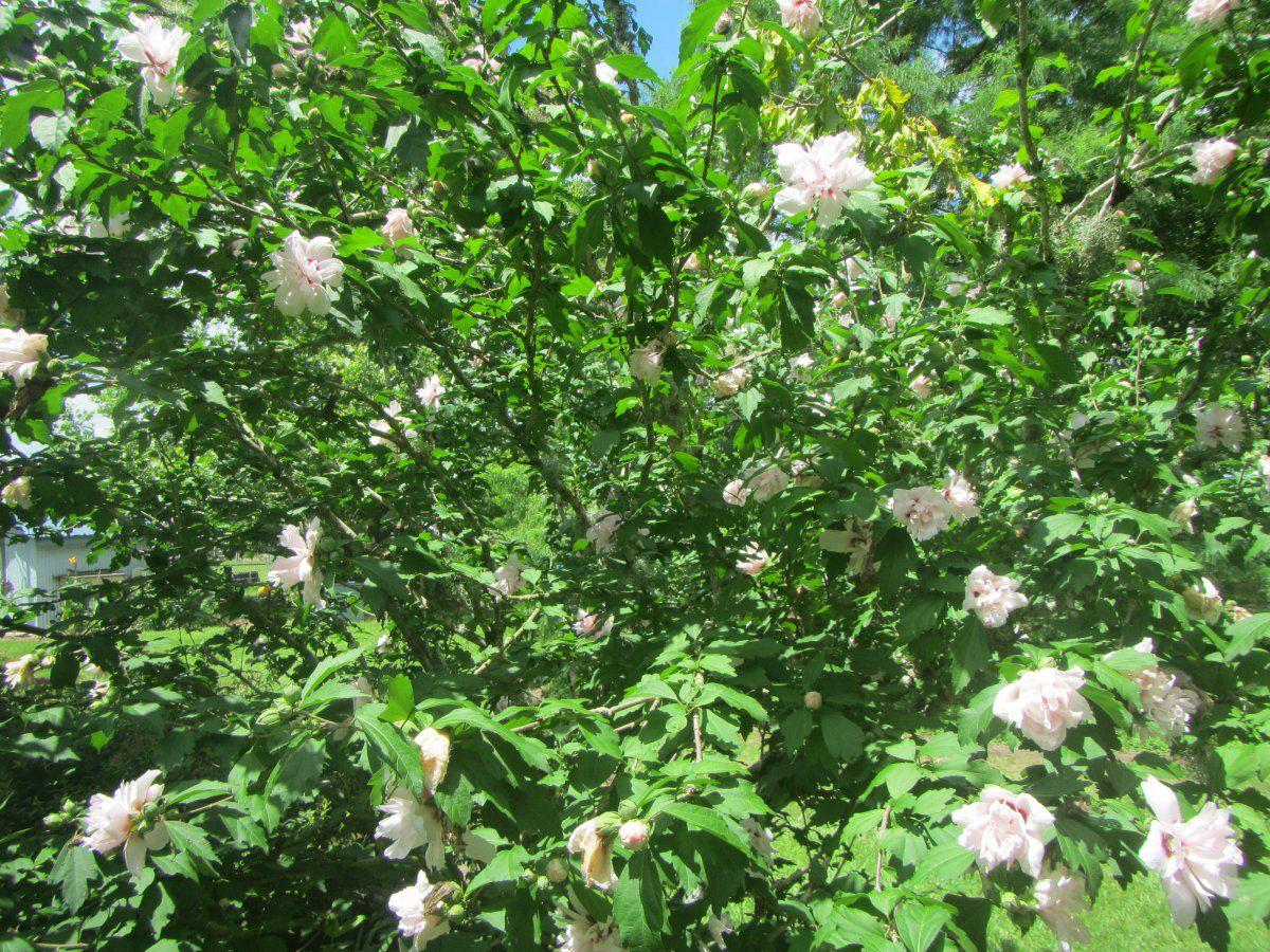 rose of sharon 2 2019.JPG