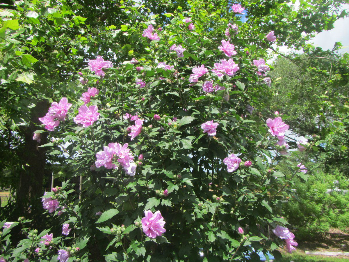 rose of sharon 2019.JPG