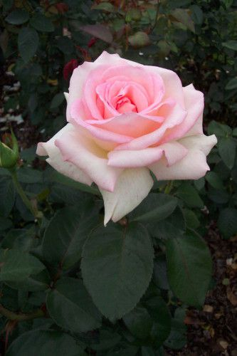 Rose Pink Promise.jpg
