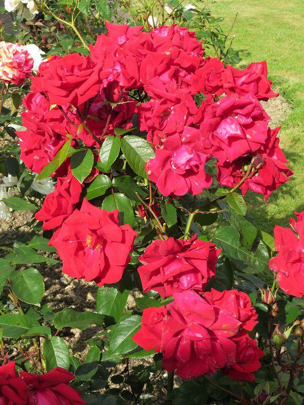 Rose 'Rob Roy' (2).JPG
