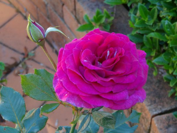 rose - sweet intoxication.jpg
