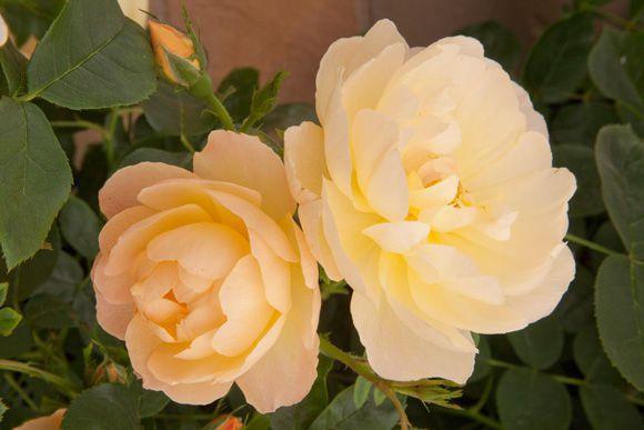 Rose - The Lark Ascending.jpg