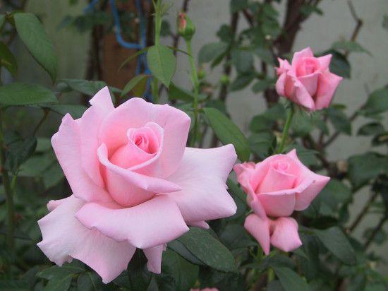 rose The_Marylou_Whitney_Rose.jpg