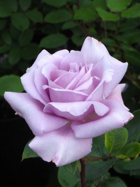 Rose - Twice in a blue moon.jpg