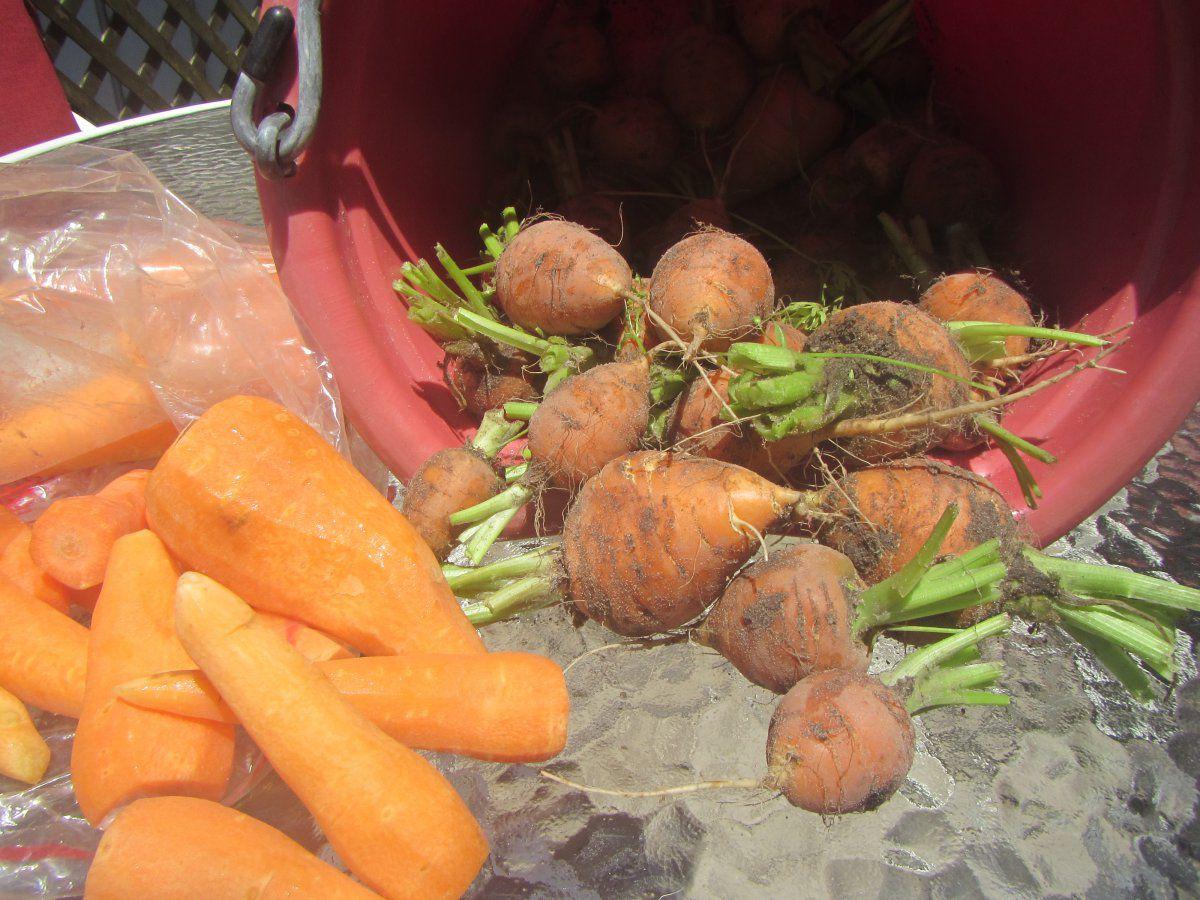 small carrots 2019.JPG