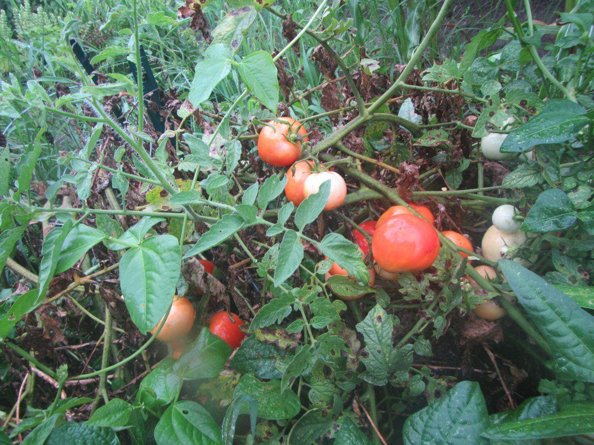 summer tomatoes.JPG