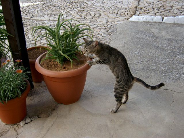 Tammy - my gardening cat .JPG