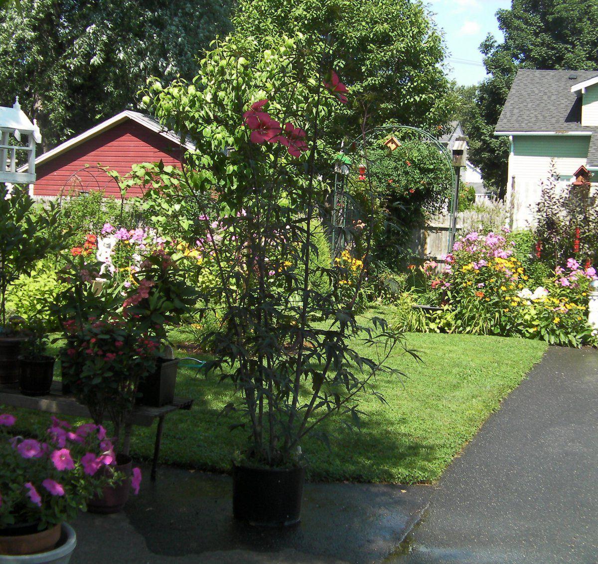 Texas Red Star Hibiscus Gardening Forums