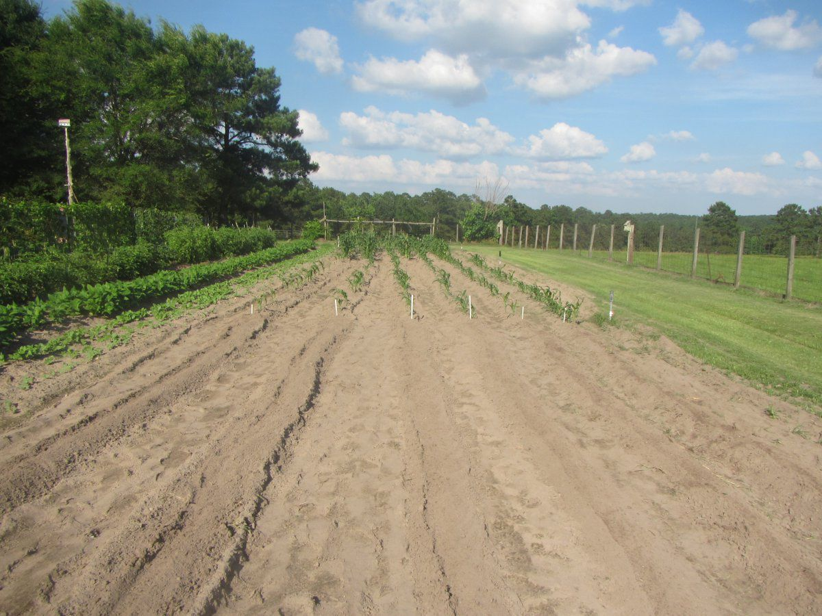 third planting corn 2019.JPG