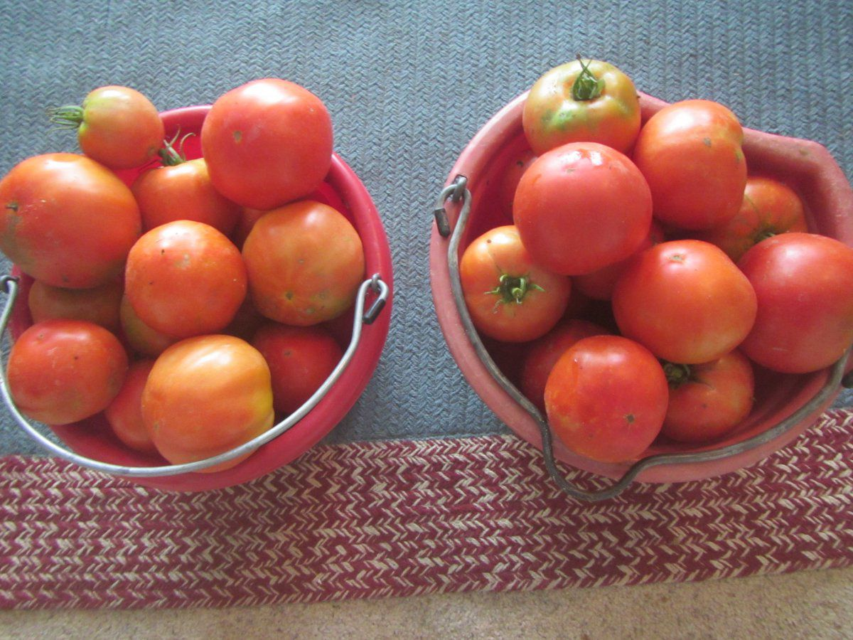 tomatoes rain.JPG
