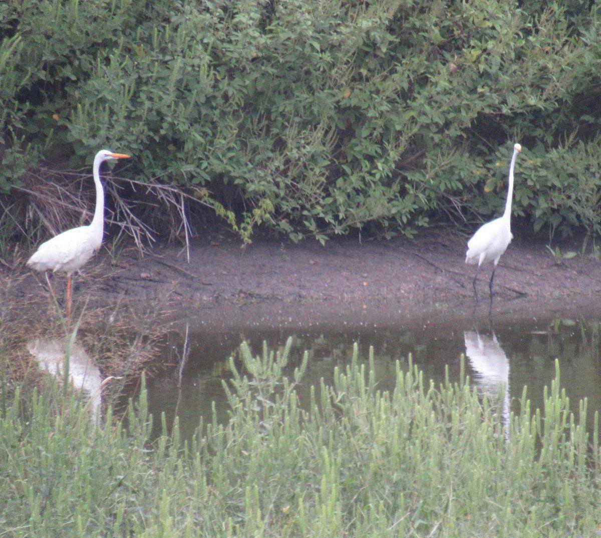 Two egrets.jpg