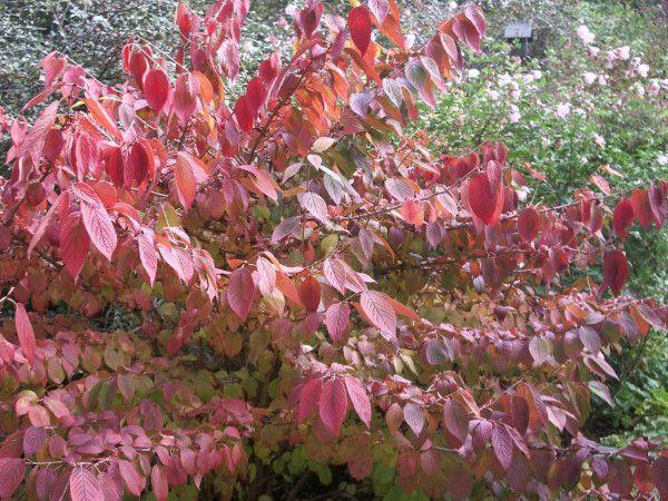 Viburnum Plicatum Mariesii 0.jpg