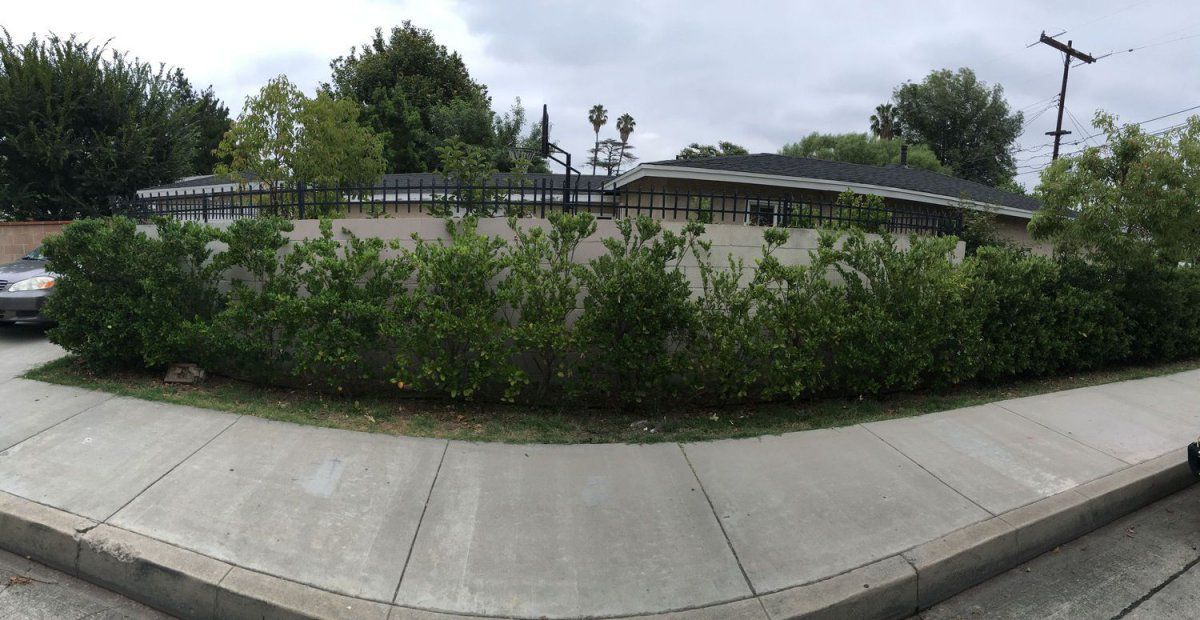 whole hedge.jpg