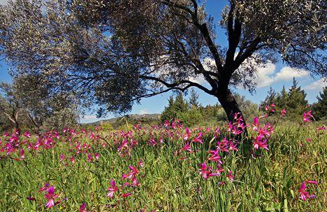 wild gladiolus-italicus1.jpg