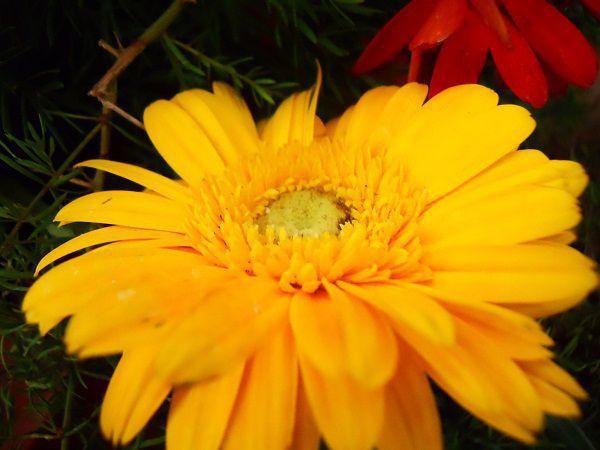 yellow gerbora daisy.jpg