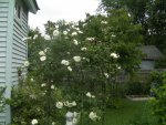 Roses zucchini 003.JPG