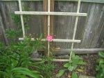 Roses zucchini 006.JPG