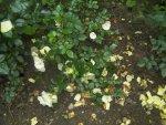 Roses zucchini 009.JPG