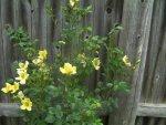 Roses zucchini 007.JPG