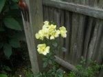 Roses zucchini 008.JPG