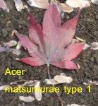 Acer matsumurae type 1 640x.JPG